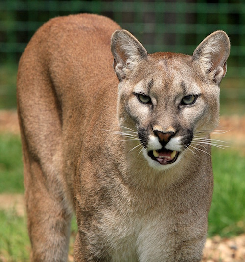 When does a woman become a cougar